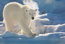 Polar bear in the Hinlopen Strait