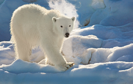 Polar bear in the Hinlopen Strait