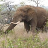An African elephant makes his way through the bush.