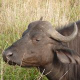 Buffalo—inyathi in Zulu—are easily spotted from open Land Rovers.