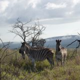 Thanda is as rife with mammals such as zebra as it is in birds and amphibians.