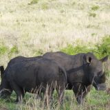 Thanda is home to the Big Five, including the imposing rhino.