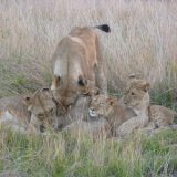 Young cubs cavorting with their mom and older sister.
