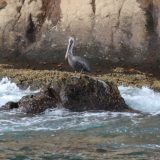 A Brown Pelican takes a break from fishing on the rocky shoreline of Floreana Island.