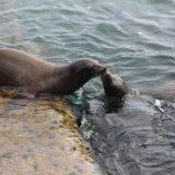Sea lion mom gives her pup a nuzzle of encouragement.