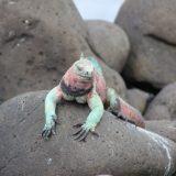 Galapagos' famous residents, the marine iguana.