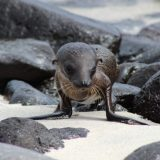 This little Galapagos sea lion pup just came out of the sea on Hood Island, obviously looking for mom.