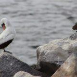 A Nazca Booby preens, while a male marine iguana looks on at hood Island.