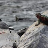 A marine iguana eavesdrops on a pair of chatting Swallow Tailed gulls on Hood Island.