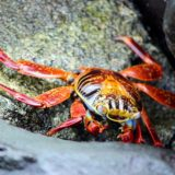 The colorful Sally Lightfoot crab stakes out his territory.