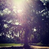Beautiful Live Oaks can be found all around Tallahassee.