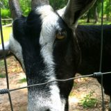 Sweet goats came to say hello at Golden Acres Ranch, Monticello, FL.