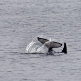 An Orca plays near North Marble Island in Alaska's Glacier Bay during a cruise on board American Safari Cruises' Safari Endeavour.
