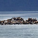 A sea lion rookery near North Marble Island in Glacier Bay.