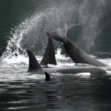 A pod of Orcas romping in Alaska's Glacier Bay as seen from Safari Endeavour, an American Safari Cruises vessel.