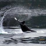 Orcas playing in Glacier Bay.