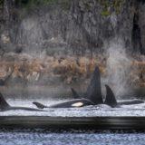 Orcas skirt the shore at Glacier Bay during an American Safari Cruises trip.