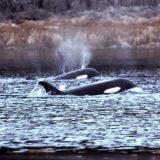 Orcas swim near the beach in Alaska's Glacier Bay.
