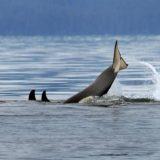 A whale dives in Glacier Bay.