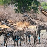 A group of giraffes near Palahala Camp drink from a water hole scattering a bevy of superb starlings, a blue bird of great beauty and speed.