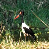 A saddlebilled stork in Palahala Camp.