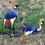 Crowned cranes, Uganda's national bird and a frequent sight near Palahala Camp, a luxury retreat in Tanzania, is considered one of the most colorful and beautiful birds in the world.