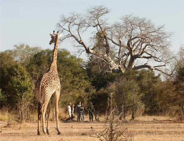 Norman Carr Safaris offers walking safaris in Zambia.