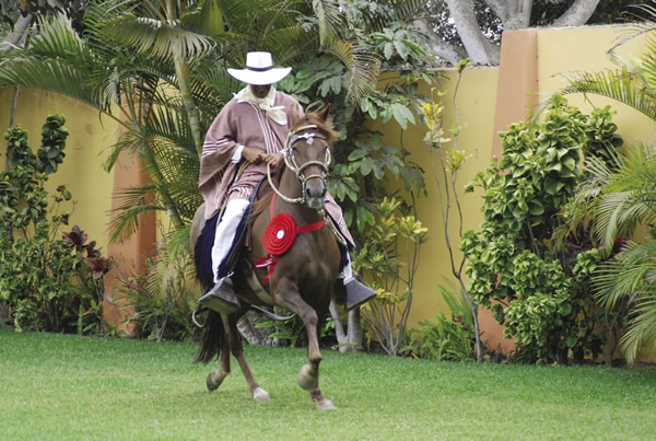 The renowed Peruvian Paso horses