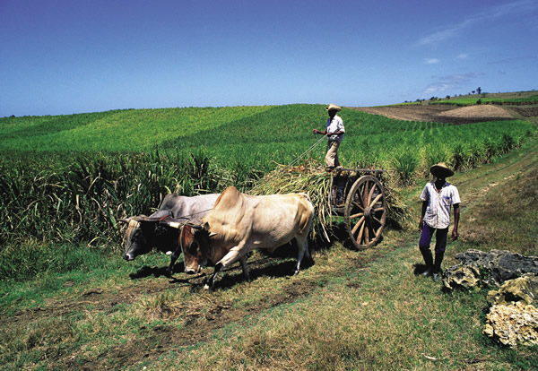 On Marie-Galante, the oxcarts are still part of rural life.