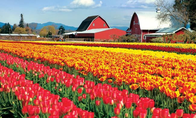 Tulip Farm Skagit