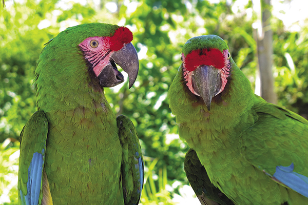 Great green macaws.