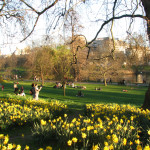 A park in Westminster with  daffodils in full bloom.