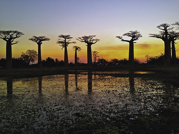 Avenue of the Baobabs in Madagascar.
