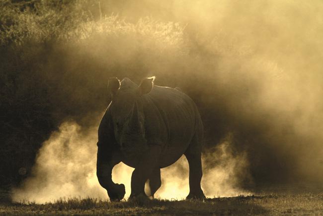 Rhino in Botswana safari. (Photo credit Beverly Joubert.)