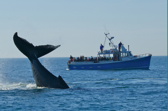 Whale watchers aboard the Passage Provider get a close up view of an active humpback whale. (Photo courtesy of ourism Nova Scotia.)