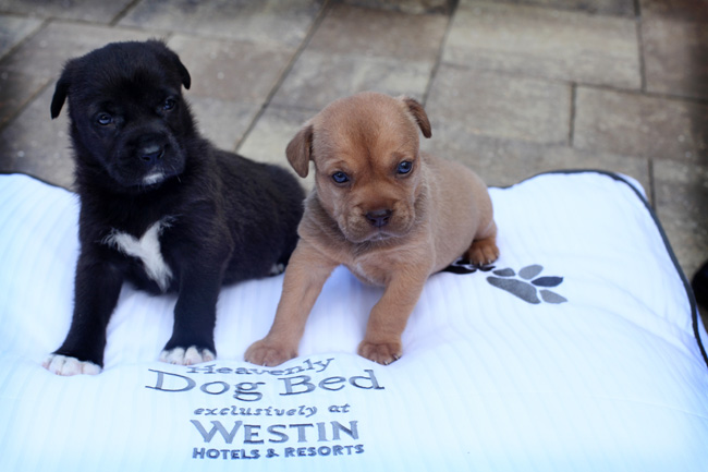 Westin Cape Coral Resort at Marina Village gives pups the Heavenly treatment with in-room amenities.