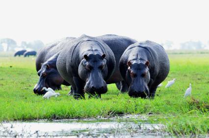 Hippos in Chobe in Botswana.