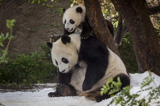 Guests can now view these gorgeous animals during the Early Morning with the Pandas tour. (Photo courtesy of San Diego Zoo.)