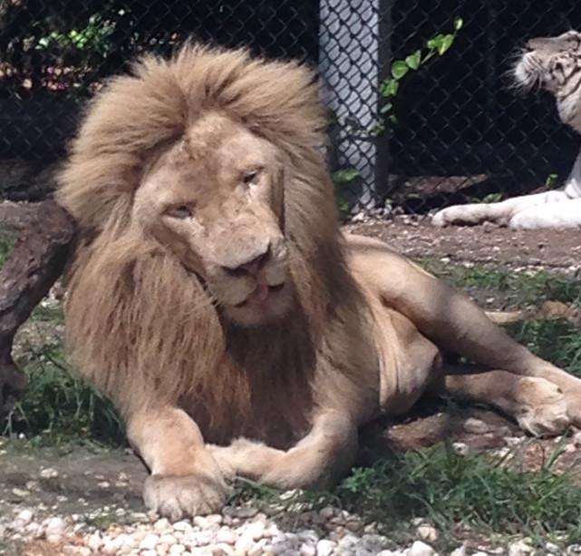 Lion Jungle Island