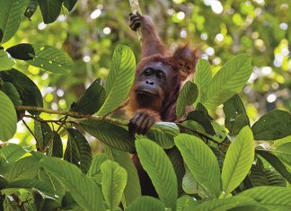 Guests on Natural Habitat Adventures' Borneo itineraries have the opportunity to view orangutans in the Danum Valley.
