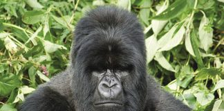 Lion World Travel offers itineraries in both Uganda and Rwanda that bring travelers up-close to these large primates.
