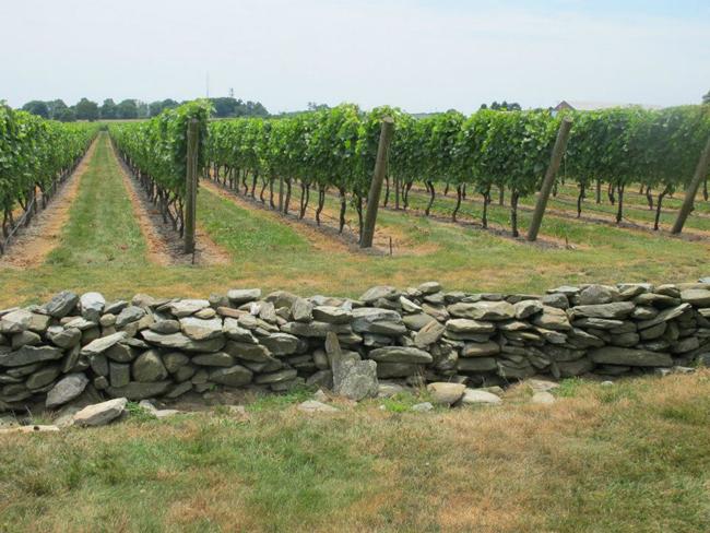 The crops at Newport Vineyards.
