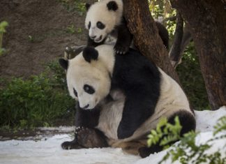 Panda Cub's First Snow Day at San Diego Zoo