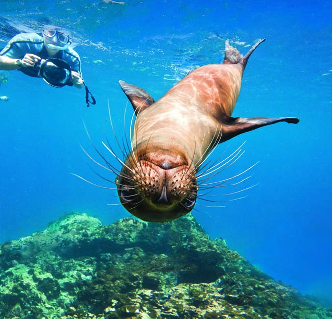 Galapagos sea lions underwater with snorkelers on Champion Island in the Galapagos Island. (Photo courtesy of Lindblad-National Geographic.)