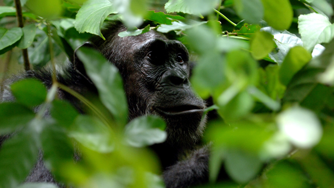 Gorilla spotting in Mahale Mountains National Park in Tanzania.