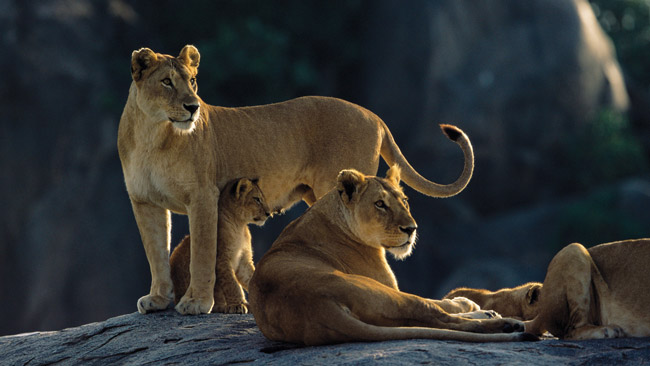 Lions in Northern Tanzania.