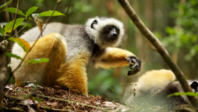 See lemurs on the Madagascar Adventures tour inspired by the film, Island of the Lemurs: Madagascar.