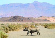 On a Natural Habitat Adventures tour, visitors to Namibia have the opportunity to view the black rhino at the Doro Nawas Camp.