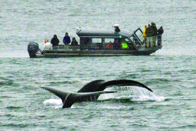 HAL offers a wide range of shore excursions that include whale watching.