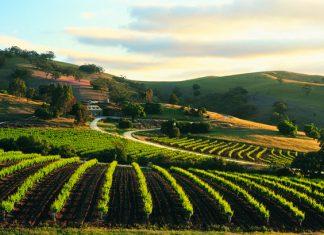 Bethany Wines vineyard in Barossa Valley, South Australia.
